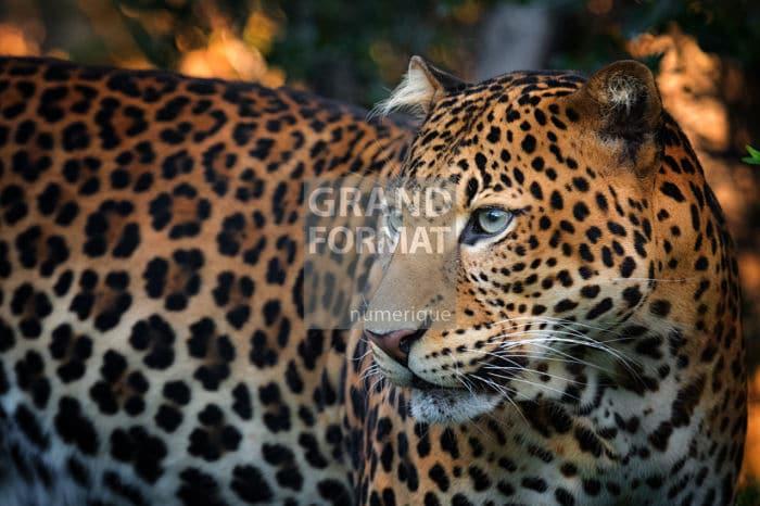 Léopard animaux photo impression et toile