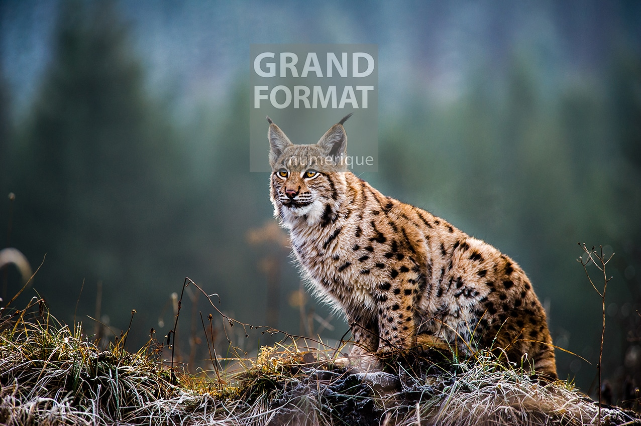 Lynx montagne photo impression et toile